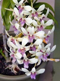 Dendrobium=