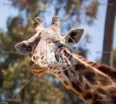 Żyrafa     nr3152021