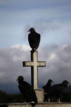 Crows Ravens Vultures: Black Vultures perch on the cross of a grave at a cemetery, Guatemala City, Guatemala. Atitlan Guatemala, Crow Bird, Quoth The Raven, Cemetery Headstones, Guatemala City, Crows Ravens, Vulture, Central America, Macabre