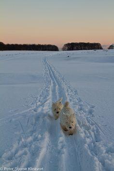 #Westies en la nieve