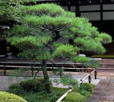 Japanese Black Pine | Japanese Landscaping Plants