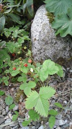 Erdbeer 11