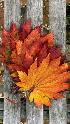 Красные кленовые листья на борту древесины iPhone 5 (5S) (5C) обои - 640x1136
