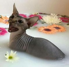 28 Ideas For Cats Aesthetic Sphynx - Hairless Cat - Ideas of Hairless Cat - 28 Ideas For Cats Aesthetic Sphynx The post 28 Ideas For Cats Aesthetic Sphynx appeared first on Cat Gig. I Love Cats, Crazy Cats, Cute Cats, Funny Cats, Adorable Kittens, Animals And Pets, Baby Animals, Funny Animals, Cute Animals