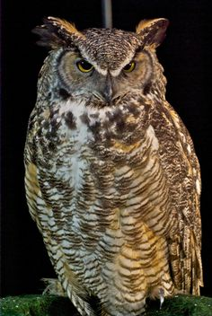 Great Horned Owl, (Bubo virginianus) -