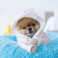 Things I respect about the Inquisitive Pomeranian Puppies Discover Lively Pomeranian Puppy Baby Animals Super Cute, Cute Baby Dogs, Cute Little Puppies, Cute Dogs And Puppies, Cute Little Animals, Cute Funny Animals, Pet Dogs, Dog Cat, Pets