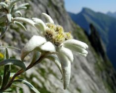National Flowers - Austria and Switzerland - Edelweiss (Leontopodium alpinum) - Pixdaus
