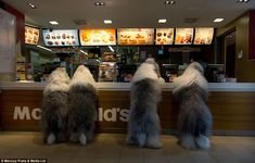 Mr Bol often gets the dogs to adopt a series of human poses in his pictures. Pictured are Sophie and Sarah taking fellow sheepdogs Jason and Ashley to McDonald's for Sophie's birthday