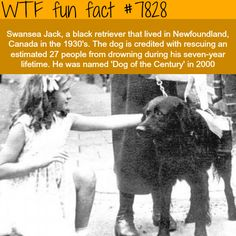 This story is about Swansea Jack is black retriever who has earned himself a rapport for saving lives. This dog used to live in River Tawe in Swansea, Wales . Brave Animals, Animals And Pets, Funny Animals, Cute Animals, Wtf Fun Facts, Funny Facts, Random Facts, Famous Dogs, Animal Books