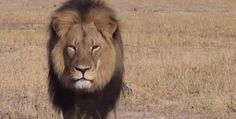 Cecil the Lion, senseless slaughtered by a Minnesota dentist.
