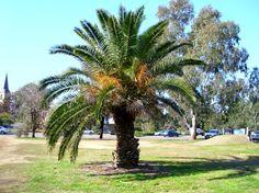 Conoce a la Palmera canaria, una planta perfecta para jardín - http://www.jardineriaon.com/conoce-a-la-palmera-canaria-una-planta-perfecta-para-jardin.html
