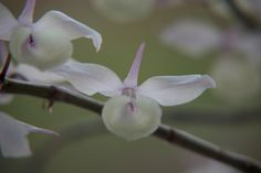 Dendrobium aphyllum - See it at The Orchid Show www.chicagobotani...