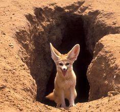 Fox Habitat, Animals Beautiful, Cute Animals, Beautiful Creatures, Desert Animals, Fennec Fox, Pet Fox, Arctic Fox, Fox Art