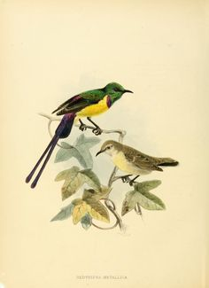 (1876-1880) - A monograph of the Nectariniidae, or, Family of sun-birds / - Biodiversity Heritage Library