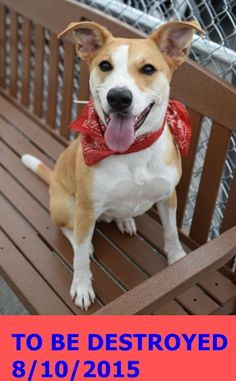 GONE 8-10-2015  --- Brooklyn Center  My name is DJANGO. My Animal ID # is A1045830. I am a neutered male tan and white feist mix. The shelter thinks I am about 1 YEAR 7 MONTHS old.  **$300 DONATION to the NEW HOPE RESCUE that pulls**  I came in the shelter as a OWNER SUR on 07/29/2015 from NY 11233, owner surrender reason stated was PERS PROB. http://nycdogs.urgentpodr.org/django-a1045830/