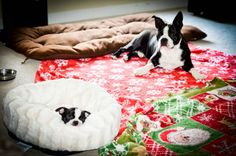 Big Brother Bailey waitin' on Lexie to wake up! Our Newest Boston Terrier Puppy - Lexie [hubby named her after the dearly departed Lexie Grey on Grey's Anatomy.  LOLOL] #BostonTerrier #puppy