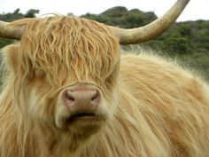 Highland cow in Scotland.  I saw a few up close like this & fell in love with them.