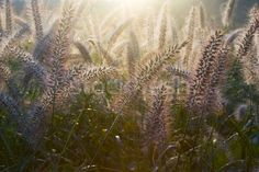 Stock photo: Bristle Grass III More Images, Grass, Cool Photos, Royalty Free Stock Photos, Illustration, Illustrations, Grasses, Herb