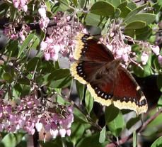 California native plants are pollinated by? This is a list from Las Pilitas.  Picture is Arctostaphylos Baby Bear Manzanita Bush with a Mourning Cloak Butterfly. Butterflies are one of the pollinators of manzanitas. - grid24_6