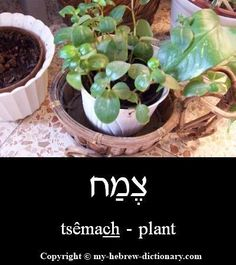 "How to say ""Plant"" in Hebrew #hebrewlessons #learnhebrew"