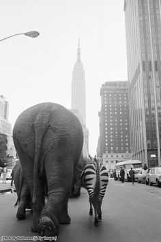 A troupe of elephants and a zebra walk down 33rd Street in Manhattan for the arrival of Ringling Brothers and Barnum & Bailey Circus, 1968.