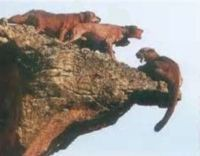 Tell S. Dakota- Stop Hunting Cougars with Hound Dogs - The Petition Site