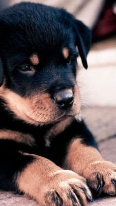 This Rottweiler puppy is looking extra sweet!!
