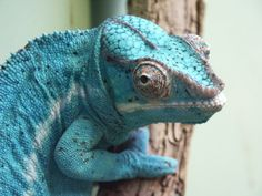Panther Chameleon at the Fort Worth Zoo