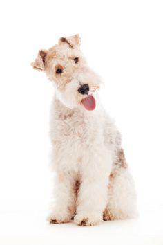 Imagen libre de derechos: Portrait of a Fox Terrier