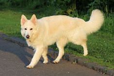 I want so badly for my next dog to be some sort of Golden Retriever/German Shepard Mix