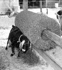 Toys for Goats by Danielle Westvang from the May/June, 2006 issue of Dairy Goat Journal. Presenting information, ideas, and insights for eve. Goat Feeder, Goat Playground, Goat Toys, Goat Pen, Goat Care, Nigerian Dwarf Goats, Raising Goats, Goat Shelter, Mini Farm