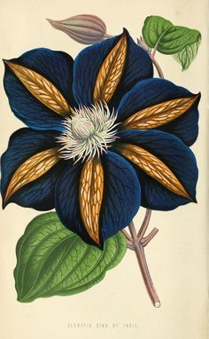 Clematis Star of India, from The Floral world and garden guide,1871. London. ViaBiodiversity Heritage Library