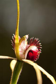 Australian Wasp Orchid, fabulous!