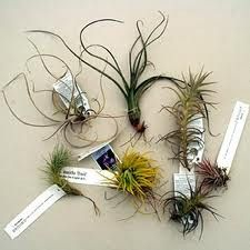 There are many types of air plants!
