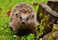 The hedgehog population is declining. Learn what you can do to help this beautiful species survive and thrive. This is the ultimate guide to hedgehogs! Organic Gardening, Gardening Tips, Vegetable Gardening, Getting Rid Of Slugs, Connemara Pony, Hedgehog Animal, Hedgehog Facts, Baby Hedgehog, British Wildlife
