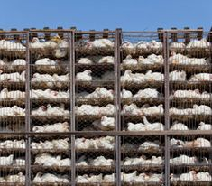 Why Women Shouldnt Eat Factory-Farmed Chicken http://www.rodalenews.com/e-coli-urinary-tract-infections