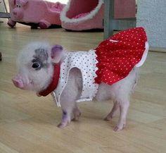 Pig with attitude