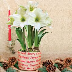 3-in-1 Grand Trumpet® Dove White Amaryllis Gift:  Snow-white blooms with a bright green throat will brighten up even the darkest winter days! These dazzling Amaryllis come pre-planted in aburlap-wrapped container that expresses the feeling of the season. A wonderful holiday accent for rustic homes and country-style decorative themes. This arrangement contains 3 bulbs, each of which will produce several blooms over the holiday season in a showy procession.