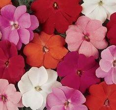 Impatiens de Nouvelle-Guinée Divine / Florific | Fleurs Annuelles