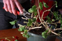 How to Prune Geraniums When geraniums become stringy and misshapen, they need pruned. The stems will contain leaves that exist on the tips, and the dead shoots and leaves will make the geranium unsightly. Pruning geraniums allows them to grow into healthy Container Gardening Vegetables, Succulents In Containers, Container Flowers, Container Plants, Vegetable Gardening, Gardening Tips, Fast Growing Plants, Growing Flowers, Growing Vegetables