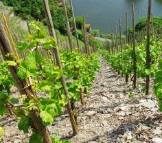 Factors that make Mosel #riesling so unique include the influence of the Moselle river, extremely steep slopes and the famous slate #winelover