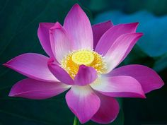 http://74211.com/wallpaper/picture_thumb/Images-of-Lotus-Flower-Pink-Petals-and-Yellow-Stamen-Amazing-Scenery.jpg