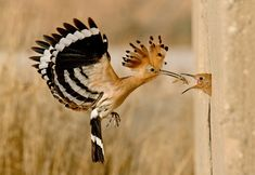 the amazing Hoopoe, we have now seen in Turkey, Spain and Egypt.