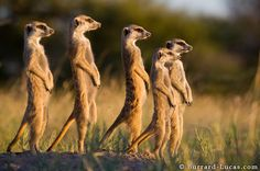 Meerkats- aren't they so cute!