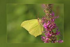 Citroenvlinder man, gefotografeerd door Regina. Rups half eind juni, de rups rust langs het middenrif van een blad en is daardoor moeilijk te vinden. Overwinterd als vlinder.