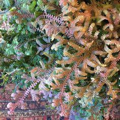 Rainbow Moss Selaginella Uncinata Low Light Quot Prehistoric