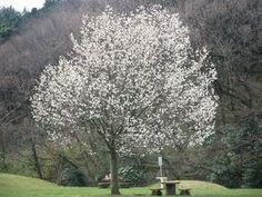 コブシ:北海道から九州、朝鮮半島南部の山地に自生する落葉性樹木。〜20m