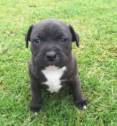 English Staffy Puppies, Staffy Pups, Staffordshire Bull Terrier Welpen, Puppies For Sale, Dogs And Puppies, Pet Corner, Nature Illustration, Beautiful Dogs, Pitbulls