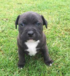 English Staffy Puppies, Staffy Pups, Staffordshire Bull Terrier Puppies, Bull Terriers, Puppies For Sale, Dogs And Puppies, Pet Corner, Beautiful Dogs, Pitbulls