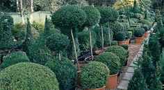 How to shape box topiary - Projects: Pruning and training - gardenersworld.com